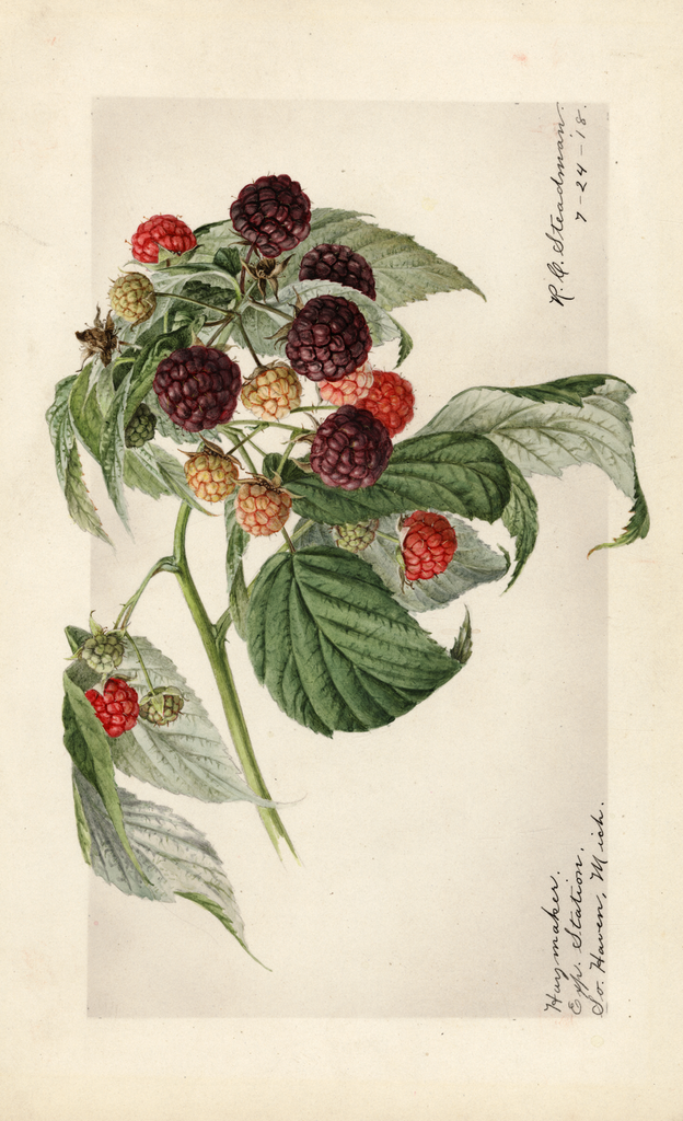 Purple Raspberries, Haymaker (1918)