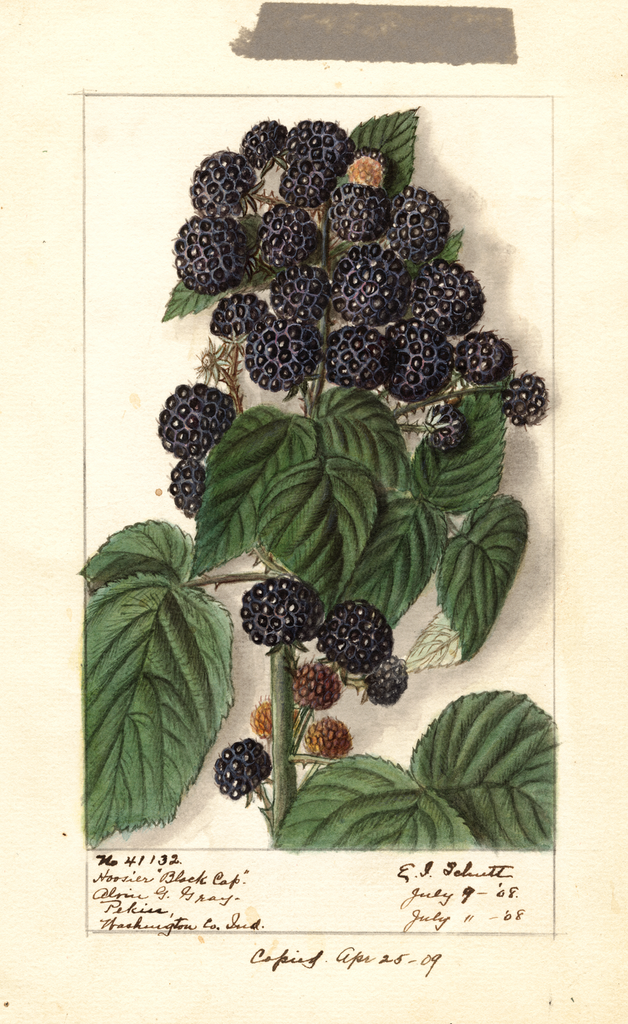 Black Raspberries, Hoosier Black Cap (1908)
