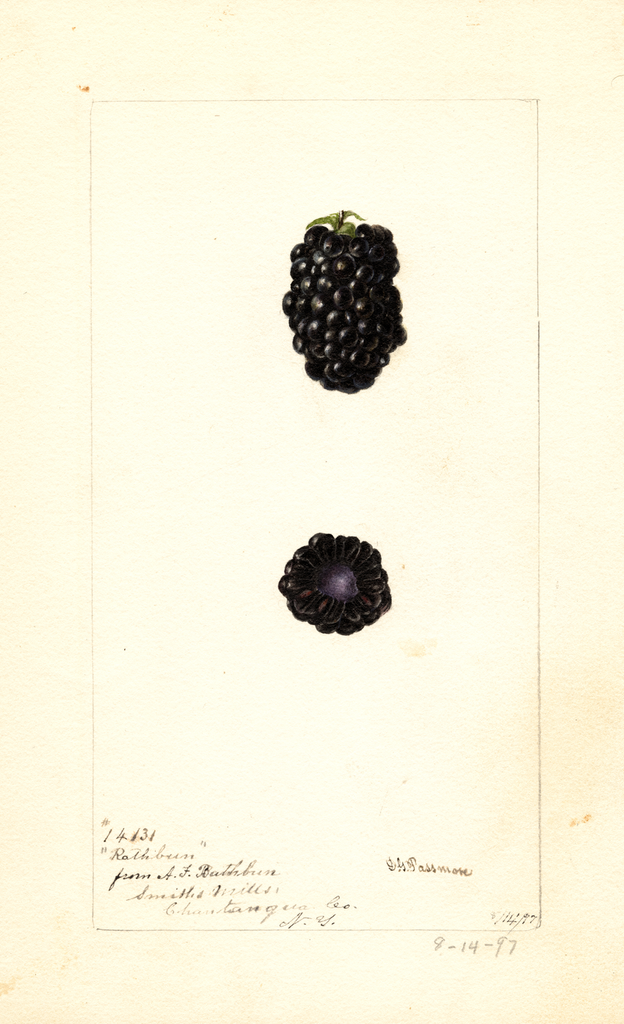 Blackberries, Rathbun (1897)