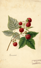 Red Raspberries, Rancocas (1891)