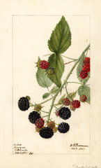 Brambles, Reward (1901)