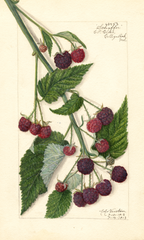 Purple Raspberries, Schaffer (1913)