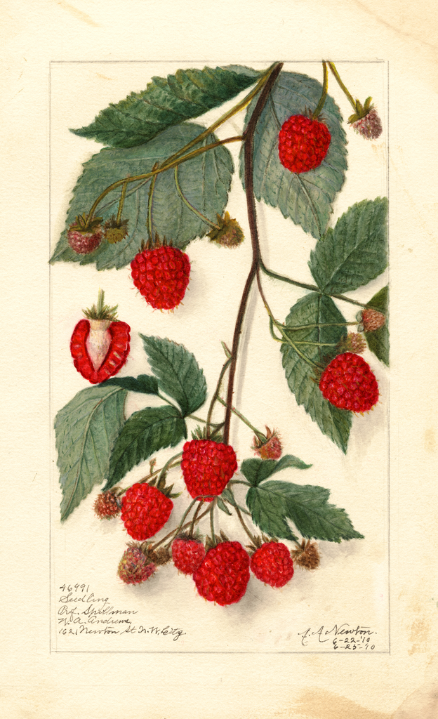 Blackberries (1910)