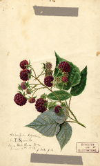 Purple Raspberries, Shaffer (1891)