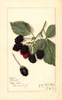 Blackberries, Watt (1912)