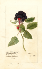 Black Raspberries, Winfield (1908)