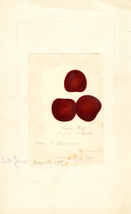 Chickasaw Plum, Early Red (1888)