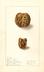 English Walnut (1908)