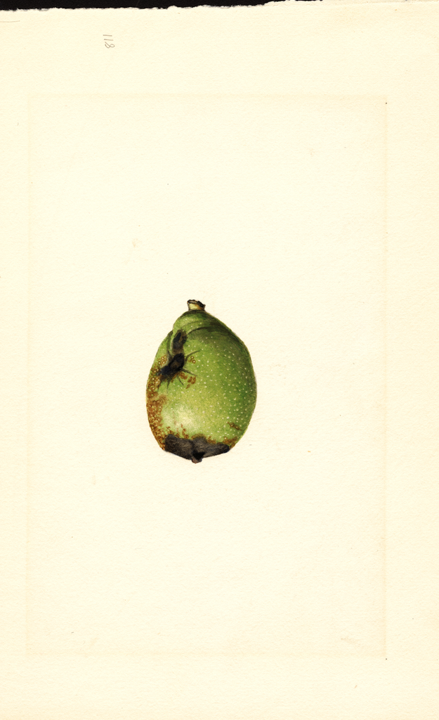 English Walnut (1914)