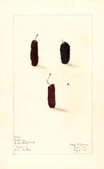 Mulberries, Coloway (1908)