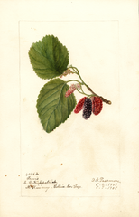 Mulberries, Travis (1908)