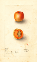 Japanese Apricot, Royal (1909)