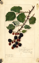 Blackberries (1913)