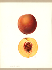Peaches, Fertile Hale