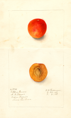 Plums, Golden Queen (1908)