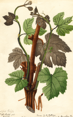 Grapes, Hartford Prolific (1894)