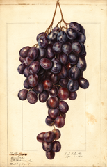 Grapes, Red Emperor (1911)