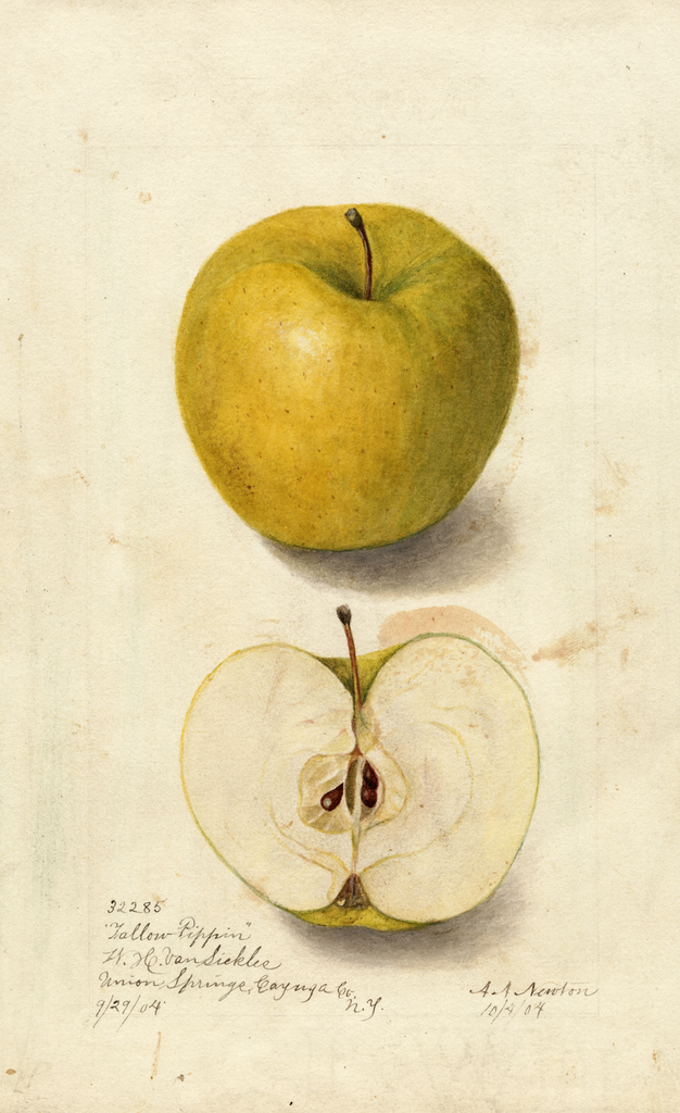Apples, Tallow Pippin (1904)