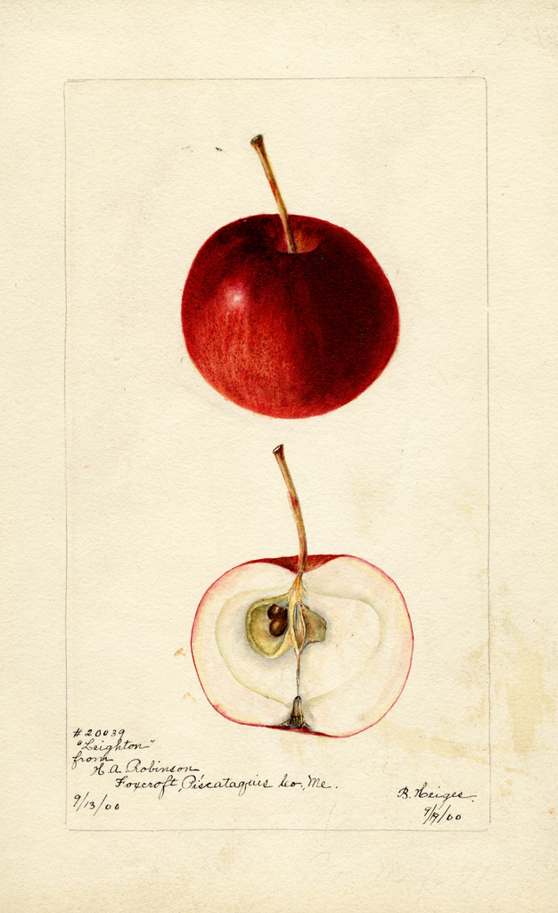 Apples, Leighton (1900)