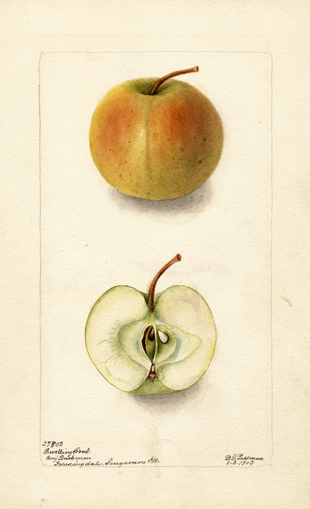 Apples, Lewelling Crab (1903)