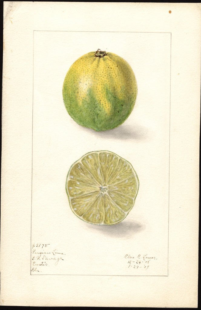 Limes, Persian Lime (1909)