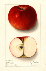 Apples, Hitchings (1910)
