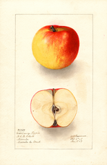 Apples, Coxs Orange Pippin (1907)