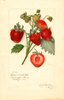 Strawberries, Commonwealth (1914)