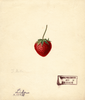 Strawberries, Lida (1889)