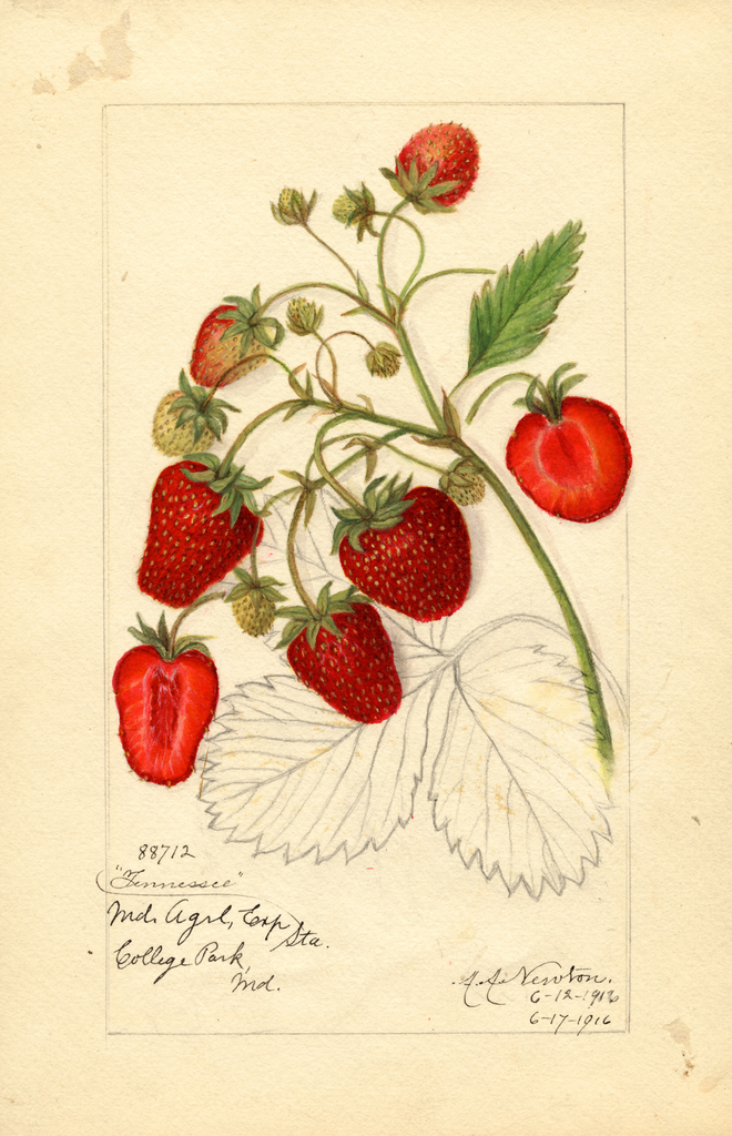Strawberries, Tennessee (1916)