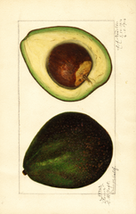 Avocados, Senor (1916)