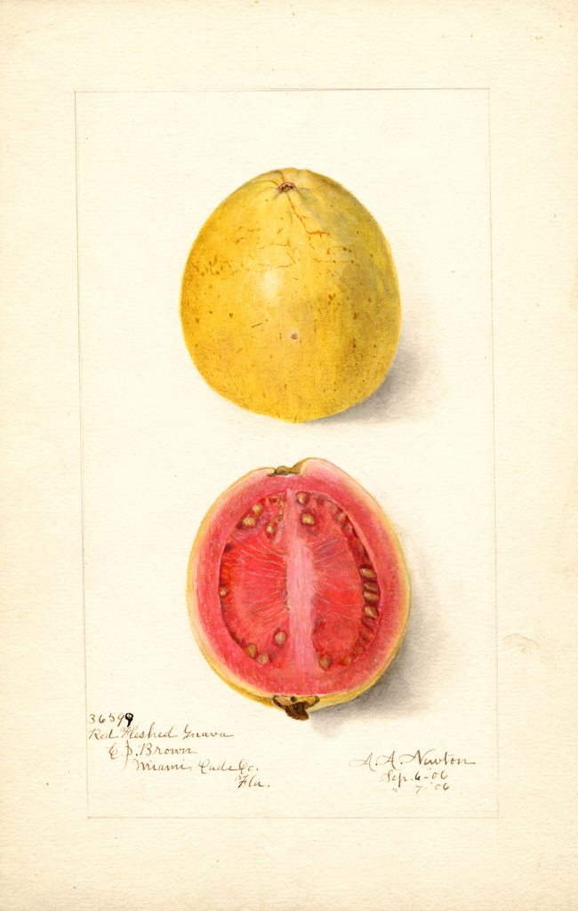 Guavas, Red Fleshed (1906)