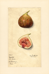 Figs, Nameless (1915)