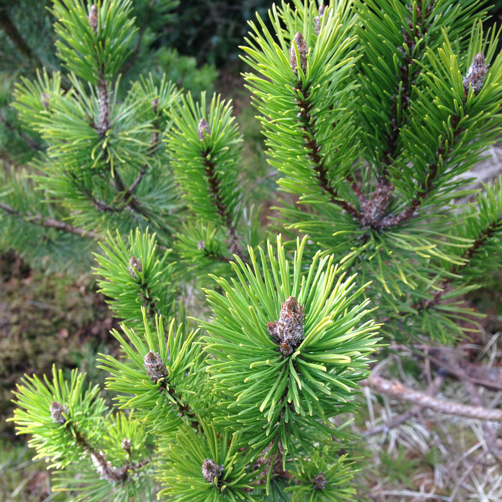 Scottish Highland Pine - Authentic Local Ingredient - and Benefits