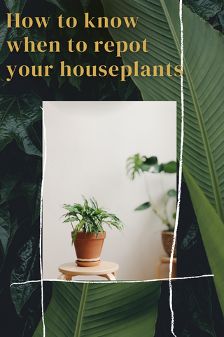 How to know when to repot your houseplant