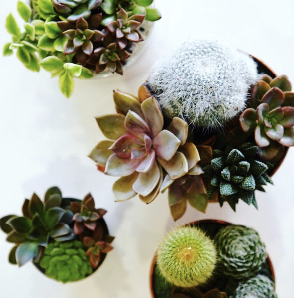 Succulent & Cactus Potted Arrangement Workshop -Saturday, July 13th at 2PM