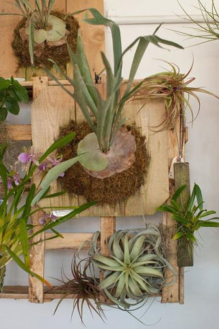 Staghorn Fern Mounting Workshop (Saturday, September 16th at 2PM)