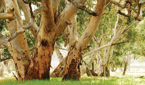 River Red Gum (Eucalyptus camaldulnesis), photo courtesy of NSW Department of Planning, Industry and Environment