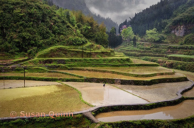 Rice Fields, Hunan Provence, China  /  Susan Quinn