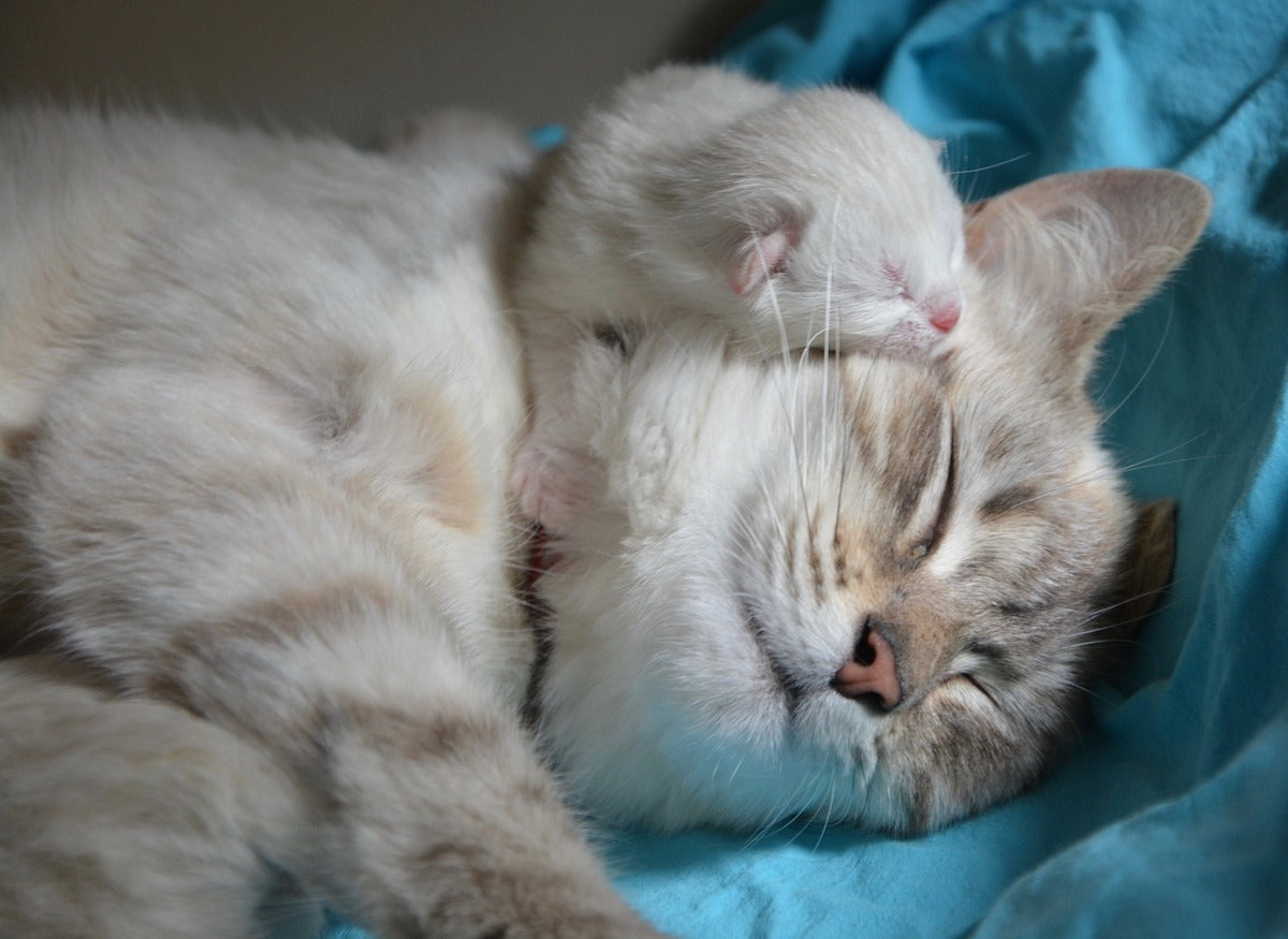 mom cat with baby kitten laying on her face
