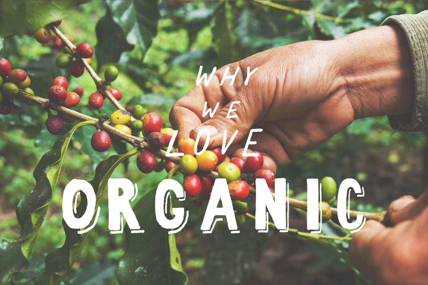 why we love organic coffee beans illustration and cherries
