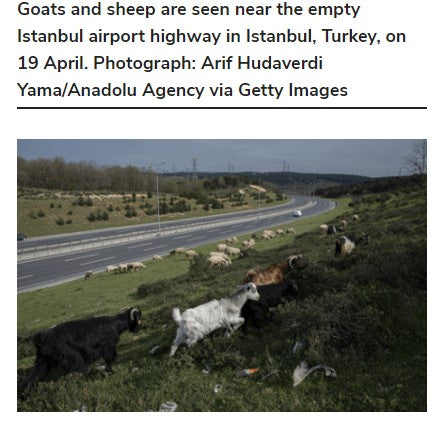 Goats and sheep are seen near the empty Istanbul airport highway in Istanbul