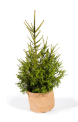 Real Christmas tree, living Christmas tree, potted Christmas tree