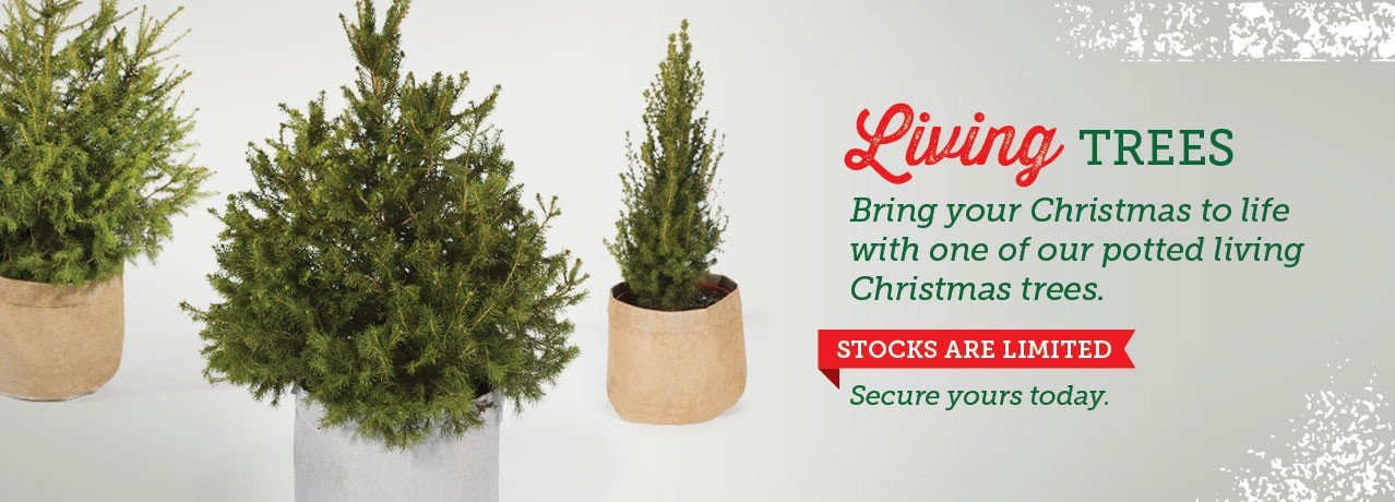 Living Christmas trees, Potted Christmas trees, real Christmas trees