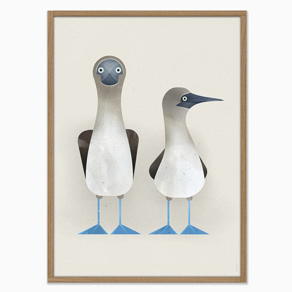 Poster - Blue-footed Boobies