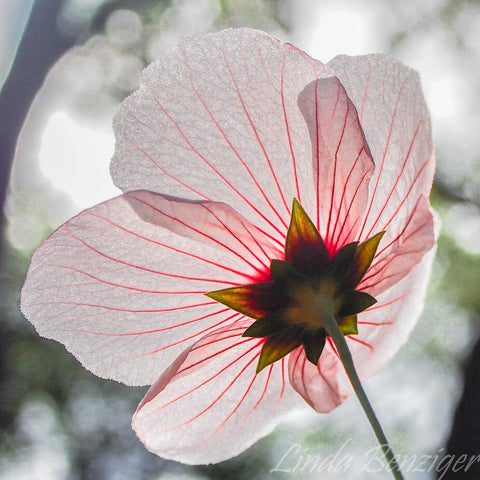 6-2 Candy-Striped Mallow