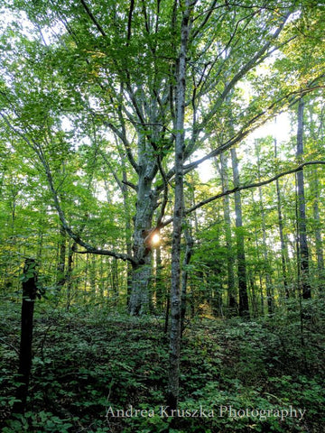 American Beech tree with sun filtering through leaves at Burgess Falls State Park in Sparta, Tennessee