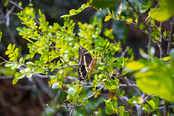 Biscayne National Park Schaus Swallowtail Butterfly on Elliot Key