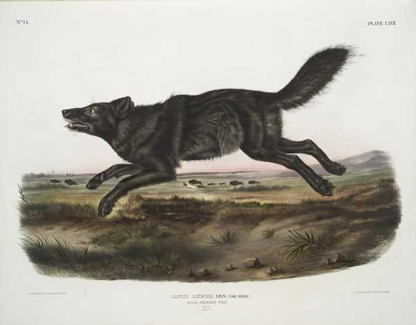 Florida Black Wolf: Extinct or Alive? – Kelly of the Wild