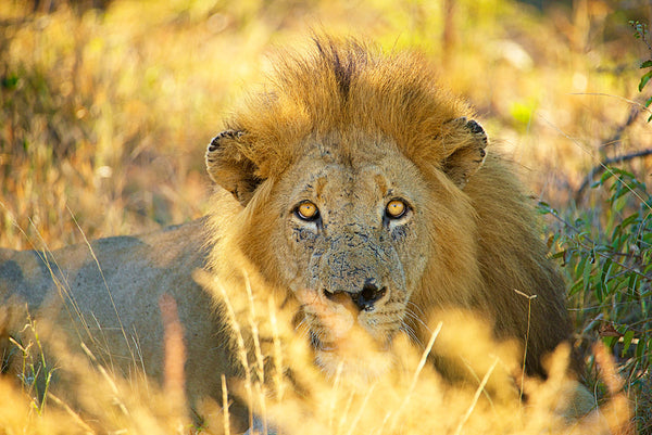 African Lion photographed by Shannon Wild